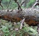 Планируемому заказнику «Ояярви-Ильменйоки» вновь угрожают сплошные сан. рубки