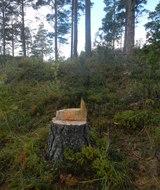 Лес в Ленобласти станет частным